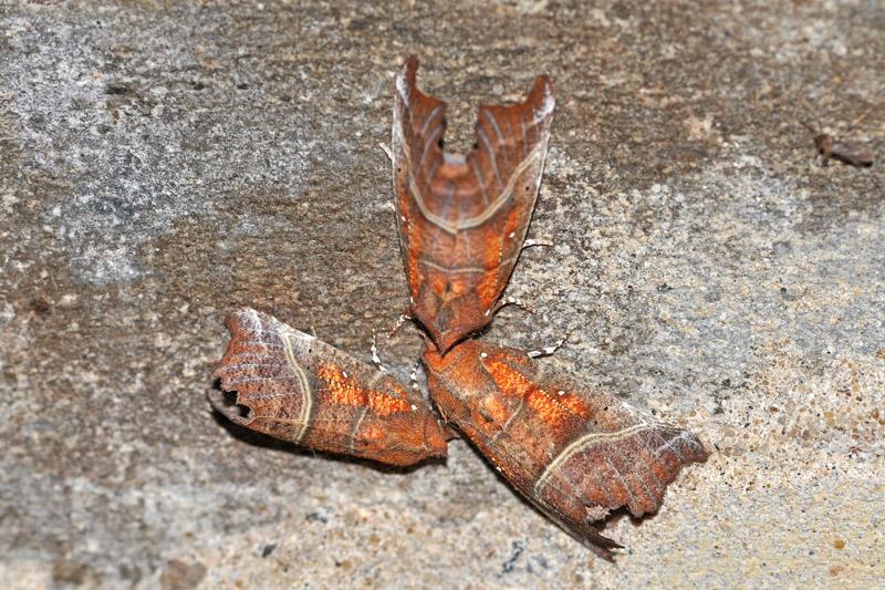 Roesje Berkheide nachtvlinder