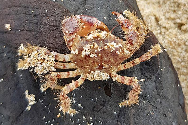 Ruig Krabbetje Berkheide strand aangespoeld