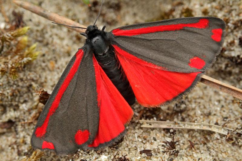 Sint-Jacobsvlinder nachtvlinders