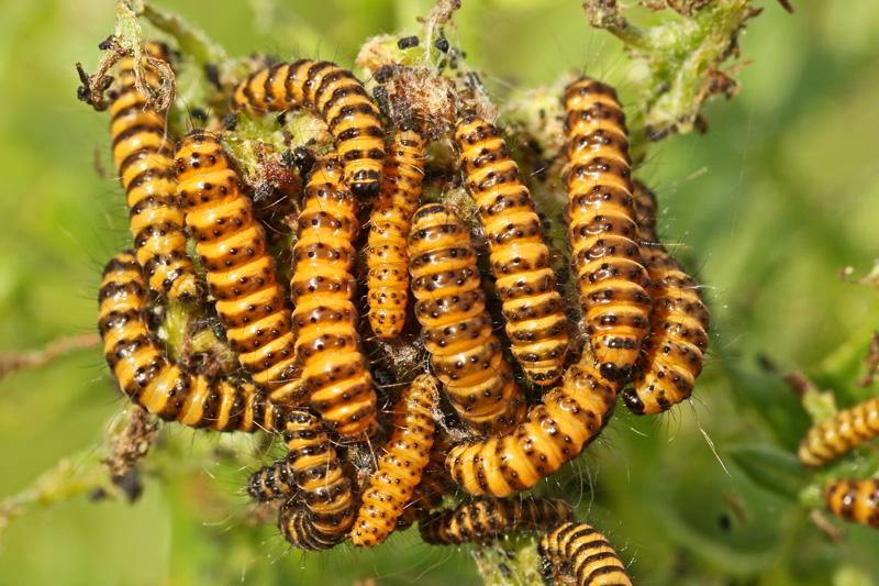 Sint-jacobsvlinder rupsen Duinkruiskruid zebrarupsen