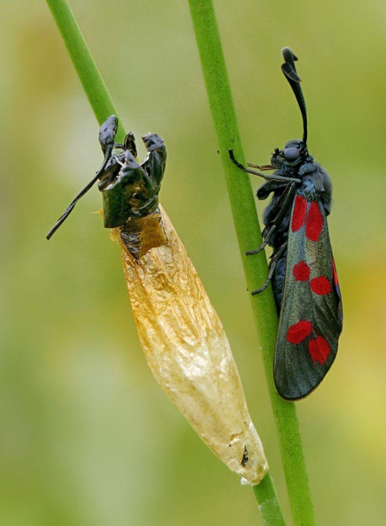 Sint-jansvlinder Berkheide