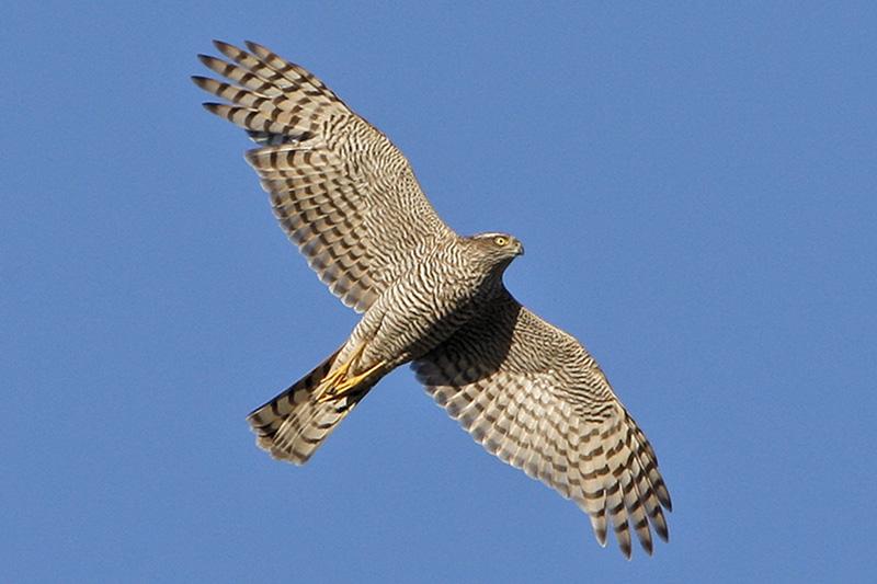 Sperwer Berkheide vliegend vogels