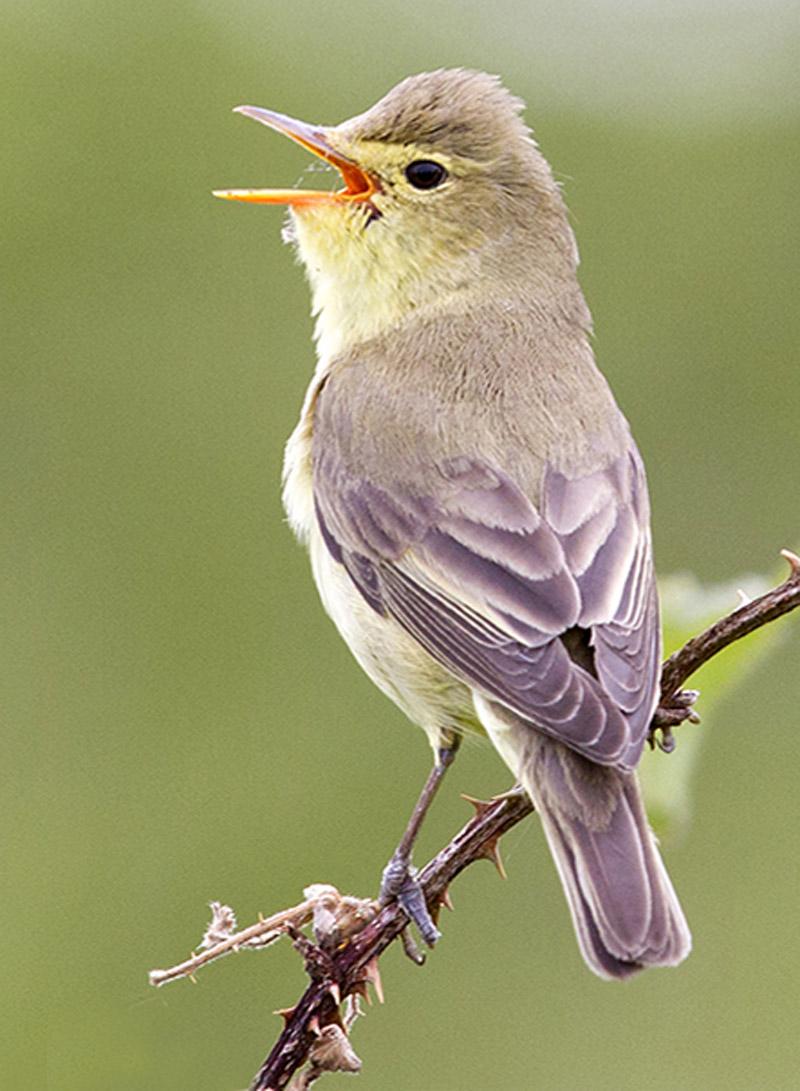 Spotvogel Berkheide vogels