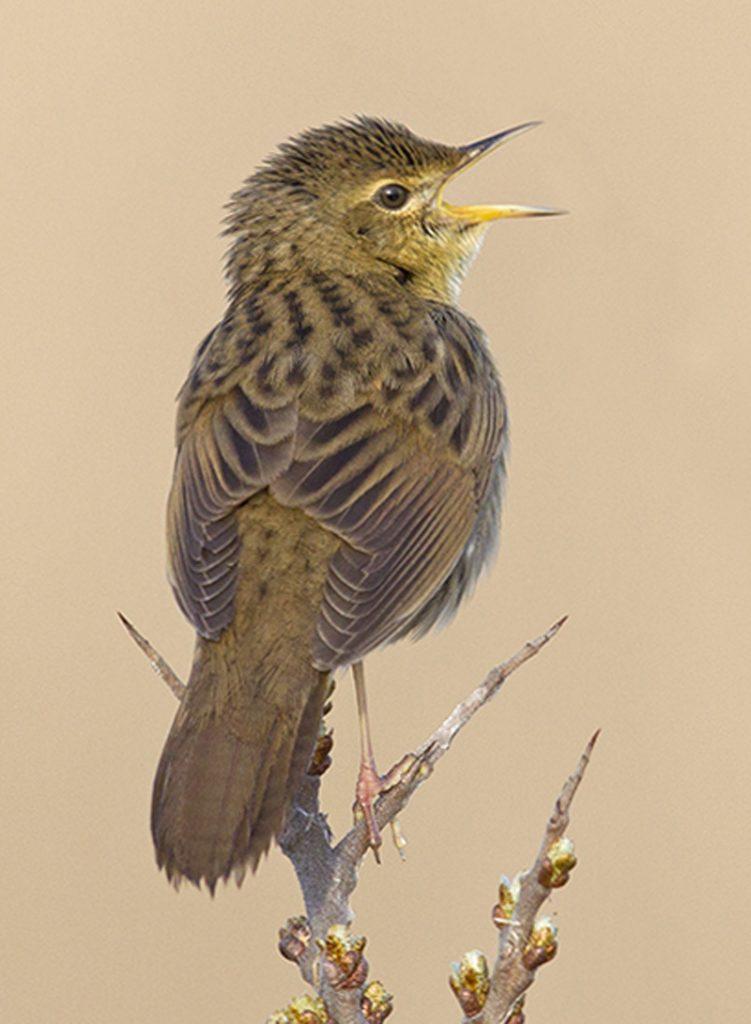 Sprinkhaanzanger Berkheide vogels