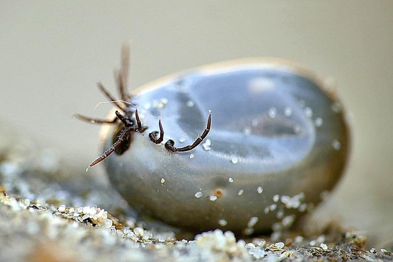 Schapenteek volgezogen bloed Berkheide Lyme ziekte