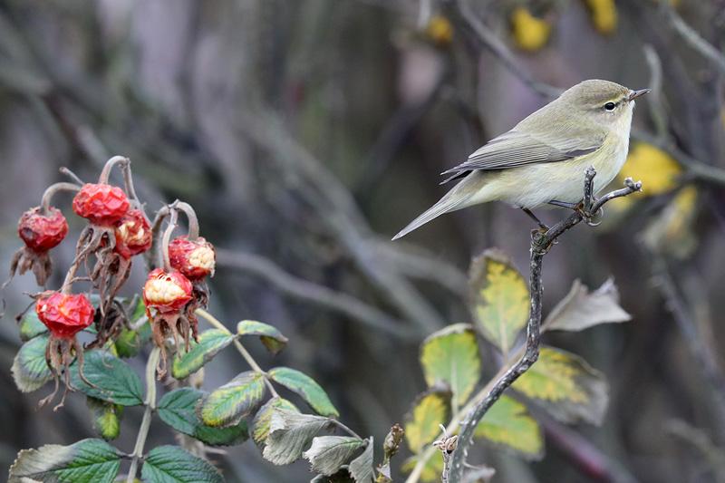 Tjiftjaf Berkheide vogels