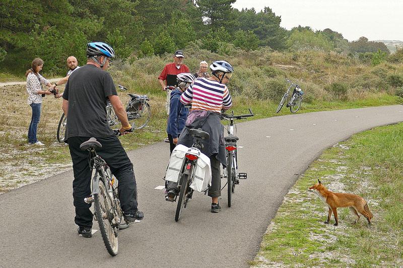 Vos bedelend fietspad Berkheide
