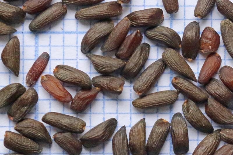 Look-zonder-look zaden zaad