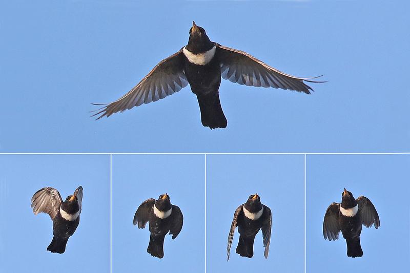 Beflijster vliegend Berkheide