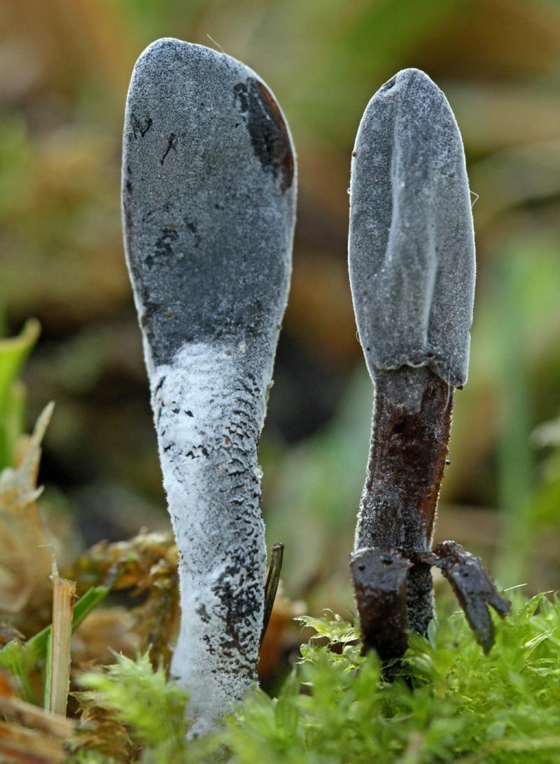 Cooke's Aardtong parasitaire schimmel Berkheide