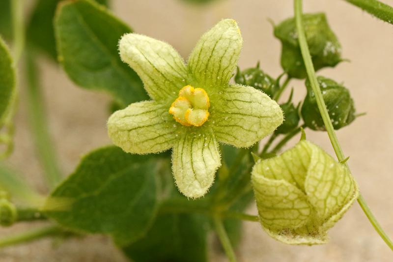 Heggenrank vijftallig mannelijk bloem Berkheide