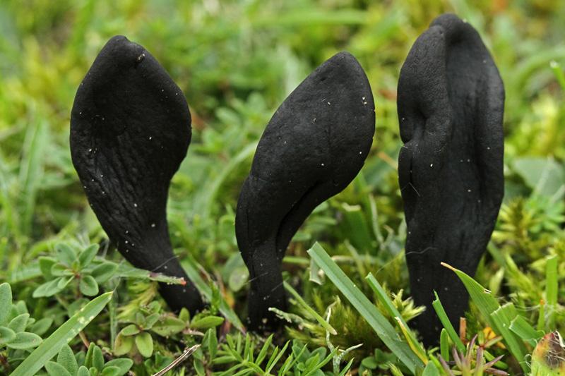 Ruige Aardtong Berkheide paddestoel zwart