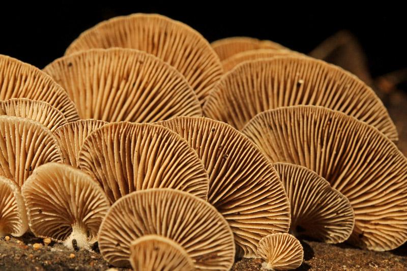 Scherpe Schelpzwam Berkheide paddestoel plaatjes detail onderkant hoed bruin