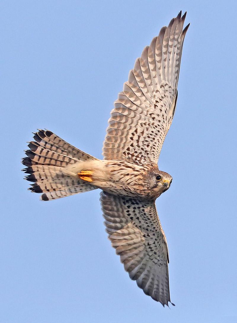 Torenvalk vogels berkheide