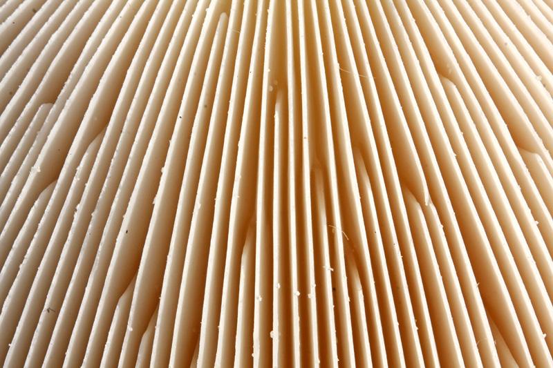 Vliegenzwam Berkheide plaatjes wit detail paddestoel