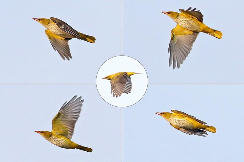 Wielewaal vrouwtje vliegend Berkheide