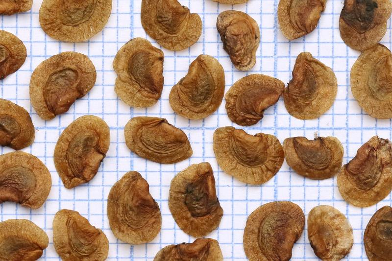 Grote ratelaar zaad zaden Berkheide