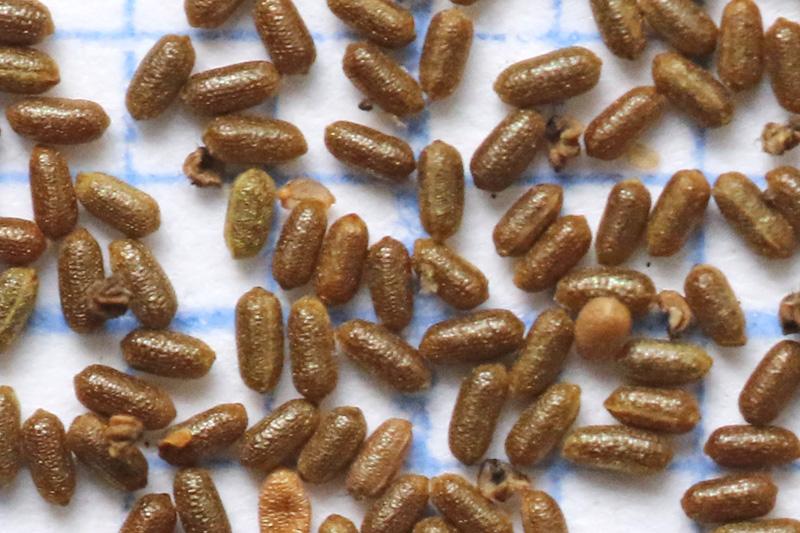 Sint-Jaskruid zaaad zaden zaadjes Berkheide