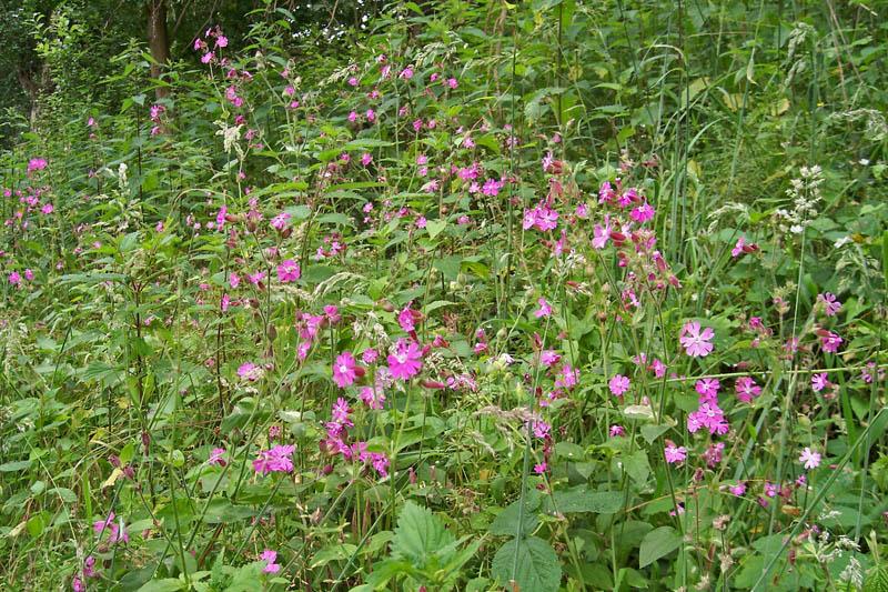 Dagkoekoeksbloem bloeiend Berkheide