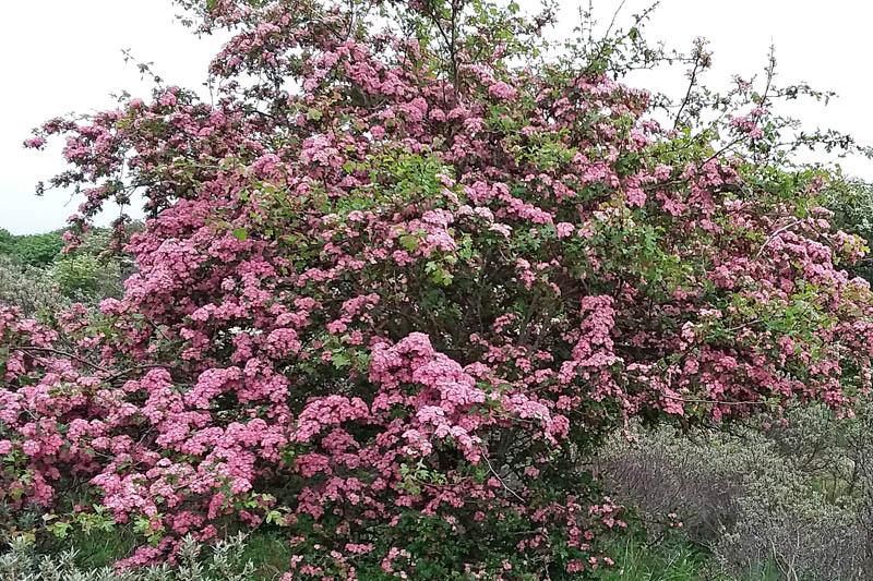 Eenstijlige Meidoorn roze bloeiend Berkheide