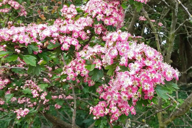 Meidoorn roze bloeiend Berkheide
