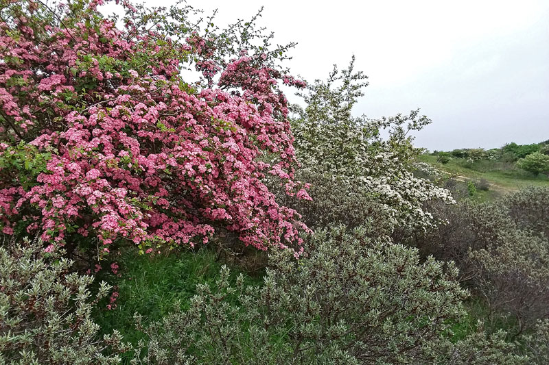 Meidoorn roze wit bloeiend Berkheide duinen