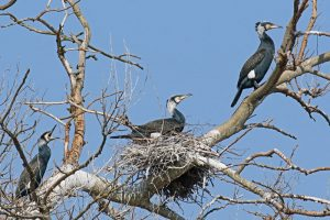 Aalscholver nest kolonie Berkheide