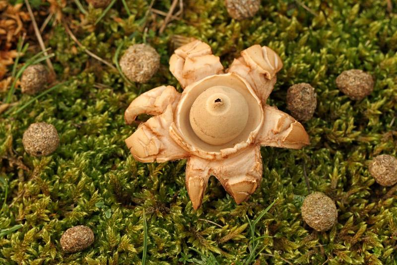 Gekraagde Aardster Berkheide paddestoel paddenstoel