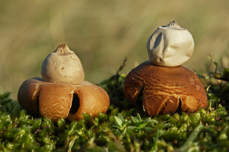 Gewimperde Aardster Berkheide paddestoel paddenstoel