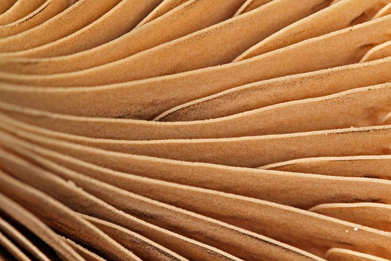 Koperrode Spijkerzwam detail plaatjes Berkheide paddestoel bruine
