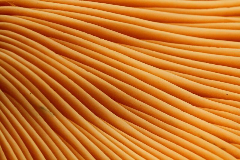Oranjegroene melkzwam plaatjes detail oranje Berkheide