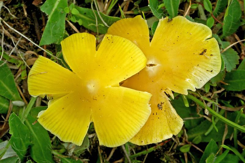 Puntmutswasplaat Berkheide gel gele paddestoel