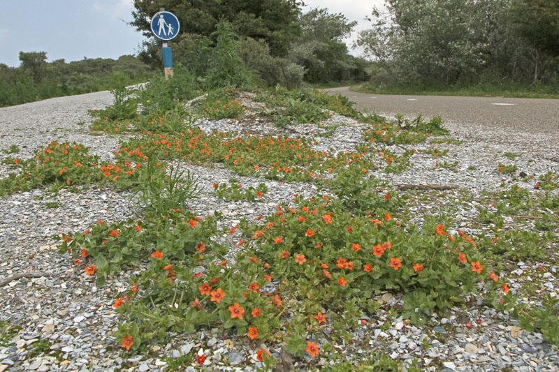 Rood Guichelheil Berkheide Denneduin bloeiend