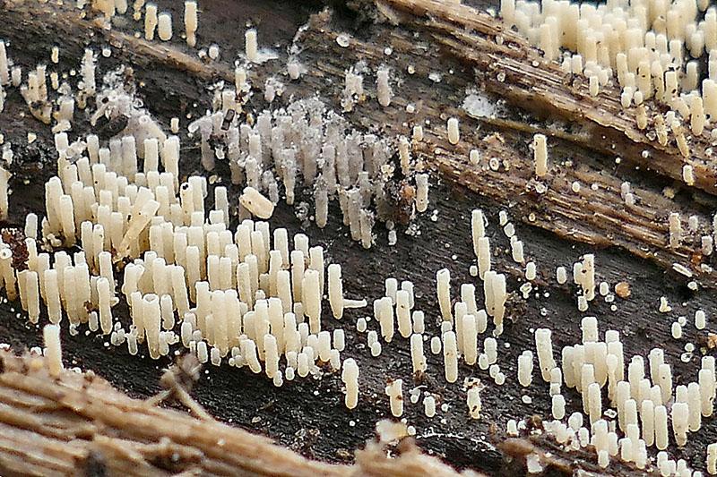 Wit Gaffelhaarbuisje Berkheide paddestoel