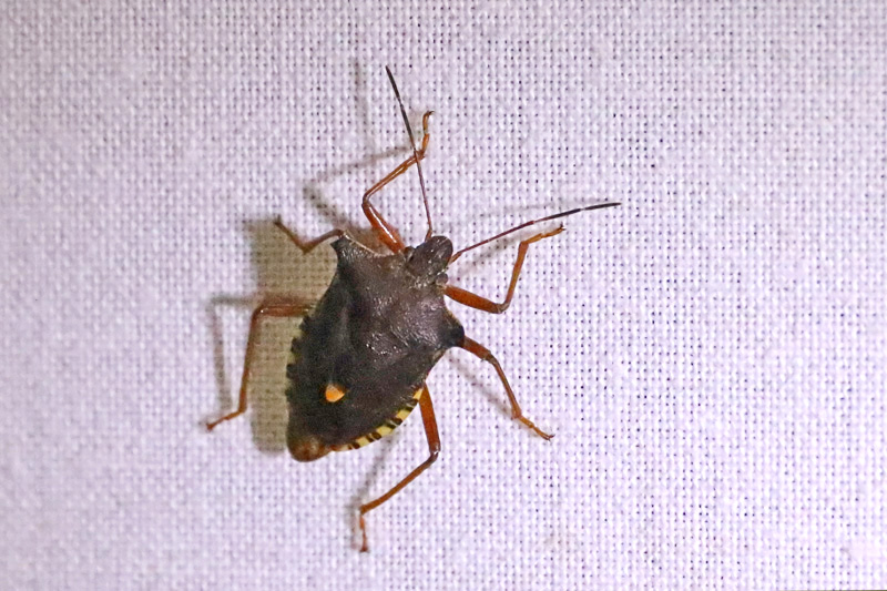 Roodpootschildwants Boswants insect Berkheide Panbos