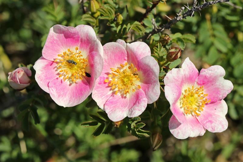 Duinroos roze bloeiend duinen COepelduynen