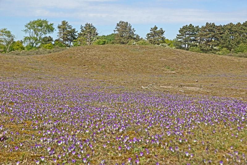 Duinviooltje velden Berkheide Zwarte Duin duinen massaal