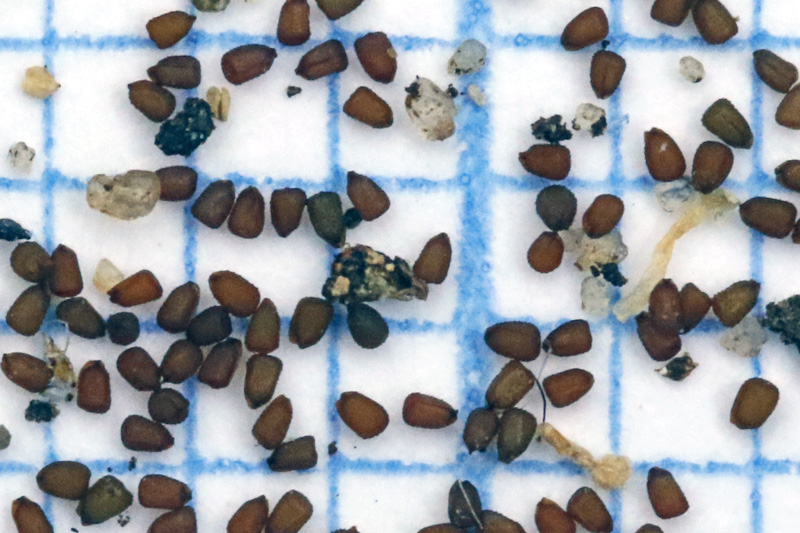 Kandelaartje zaden zaad Katwijk duinen Zeehos