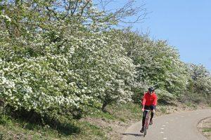 Berkheide Meidoorn bloeiend