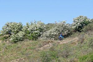 Meidoorn bloeiend voorjaar Berkheide