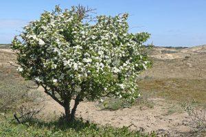 Meidoorn bloeiend Kalahari Berkheide