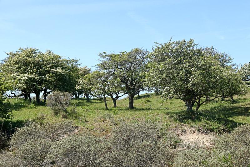 Eenstijlige Meidoorn Berkheide boomgaard bloeiend duinen