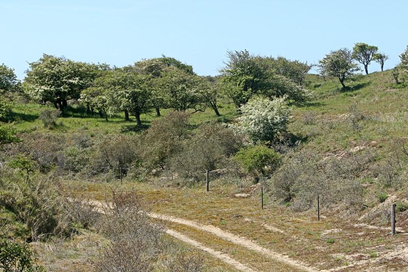 Eenstijlige Meidoorn Berkheide boomgaard bloeiend