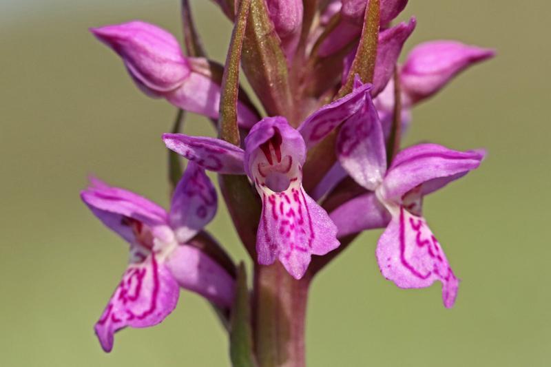 Gevlekte Rietorchis orchidee Berkheide bloeiend Kalahari Zuid