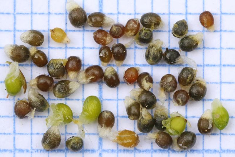 Gewone Veldbies zade onrijp rijp mierenbroodjes Berkheide duinen