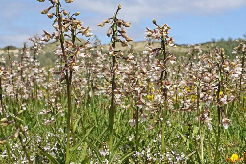 Moeraswespenorchis massaal bloeiend Coepelduynen C2 Guytedel duinen duingebied Noordwijk