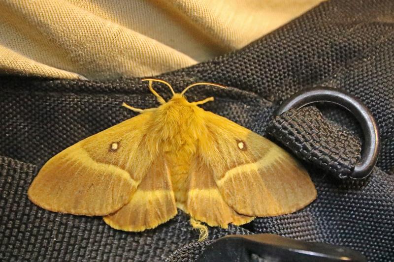 Hageheld vrouwtje nachtvlinder Berkheide Panbos