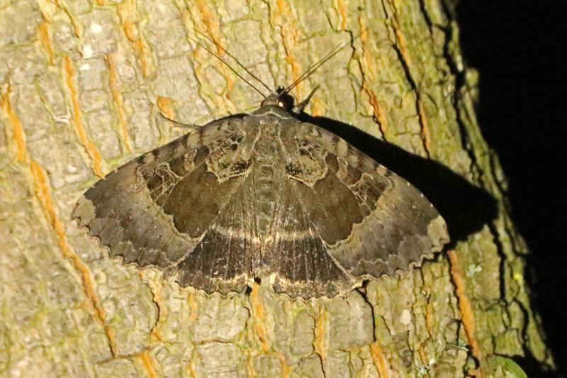 Zwart Weeskind vrouwtje nachtvlinder Berkheide Panbos