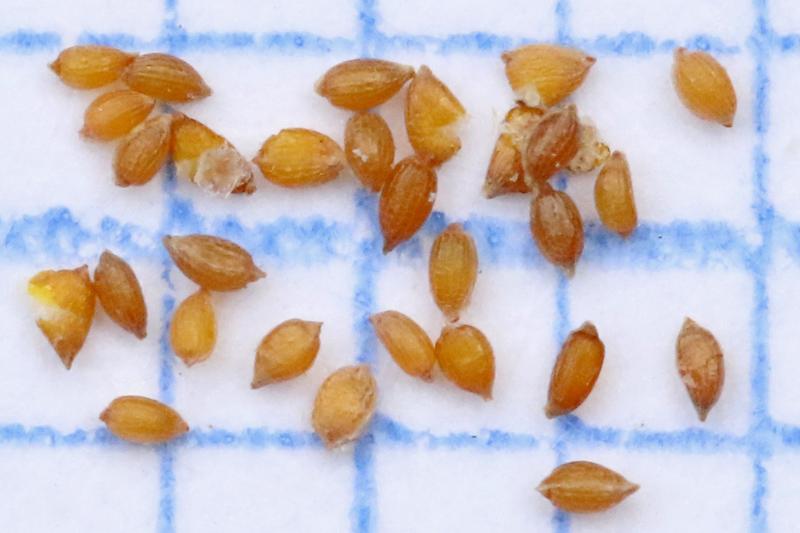 Paddenrus zaden Lentevreugd Berkheide