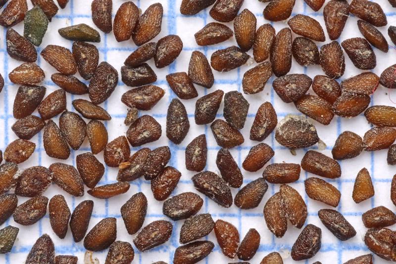 Grote Weegbree zaad zaden Berkheide Lentevreugd
